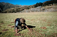 Picking potatoes, Chincheros. Sacred Valley, Peru