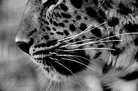 Leopard profile