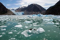 The Sawyer Glacier, with a mother and pup hauled out near a tidewater glacier at the end of Tracy Arm in Southeast Alaska, USA.