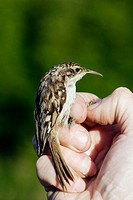 Short-toed Tree Creeper (Certhia brachydactyla)