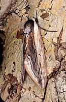 Privet Hawk moth (Sphinx ligustri) at rest on willow trunk UK
