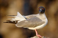 Swallot-tailed Gull (Creagrus furcatus). Genovesa (Tower) island, Galapagos Islands. Ecuador