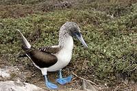 Blue-footed Booby (Sula nebouxii). Española (Hood) island, Galapagos Islands, Ecuador