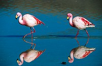 Puna Flamingo (Phoenicoparrus jamesi), rare highly adapted to feed on microscopic diatoms. Laguna Colorada, Bolivia