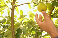 Hand picking a yellow apple