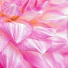 Flower petals (thumbnail)