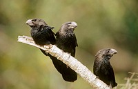 Smooth-billed Ani (Crotophaga ani) in social group. Caiman ecological reserve, Pantanal. Brazil
