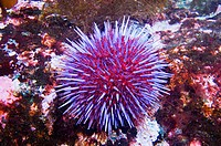 Purple Sea Urchin, Pacific Northwest, Canada, Strongylocentrotus purpuratus