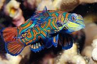 Pair of mandarinfish, Synchiropus splendidus, mating, Malapascua, Cebu, Philippines, Visayan Sea