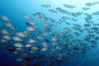 Hundreds of Lowfin drummers, Kyphosus vaigiensis, schooling, Canyons, Puerto Galera, Philippines