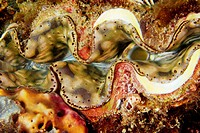 Giant clam, Tridacna sp., mantle detail, Dungon wall, Puerto Galera, Mindoro, Philippines