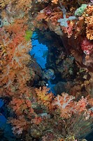 Indonesia, Diver investigates beautiful alconarian coral.