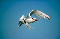 Red-billed Tropicbird (Phaeton aethereus) in flight. Punta Caballos, Española (Hood) Island. Galapagos Islands, Ecuador