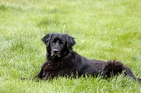Black dog in grass