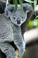 Koala (Phascolarctos cinereus) seating in eucalyptus tree, captive. Germany