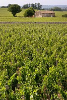 Vineyards at Saint-Emilion, one of the famed wine area of Bordeaux. Gironde. France.