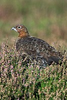 Red Grouse (Lagopus lagopus scoticus) on heather moorland Yorkshire Dales UK
