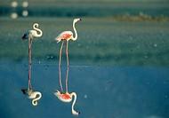 Greater Flamingo (Phoenicopterus ruber), Fuente de Piedra lagoon. Málaga province, Andalusia, Spain