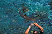 Black tipped sharks attracked by a shark feeding in the Huahine lagoon - The diver holds his hands out of water