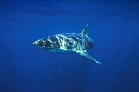Great white shark. S. Australia