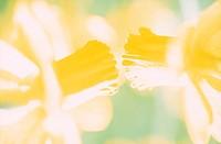 Flower,Daffodil,Narcissus