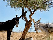 Two donkeys tied to a tree. Sierra de Cazorla. Jaen province. Andalucia. Spain