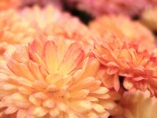 Chrysanthemums (Dendranthema)