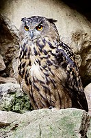 Eagle Owl (Bubo bubo) on rock