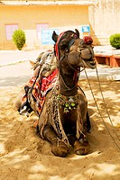 Close-up of a camel sitting, Jaigarh Fort, Jaipur, Rajasthan, India