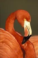 American Flamingo , Phoenicopterus ruber ruber , Latin America , Central America , South America , America , adult portrait