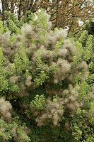 Smokebush, Cotinus coggygria, Germany, bloom