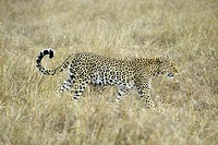 Leopard Panthera pardus Masai Mara Kenya, adult female