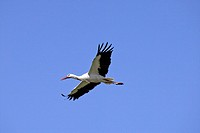 White Stork , Ciconia ciconia , Germany , Europe , adult flying