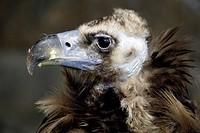 Cinnereous Vulture , European Black Vulture , Black Vulture , Eurasian Black Vulture , Aegypius monachus , Europe , adult Portrait