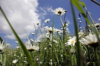 Ox-eye daisies on meadow with blue sky, Leucanthemum vulgare