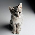 Close-up of a Gray Kitten