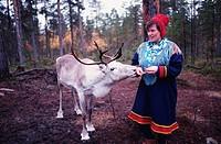 Finnish Lapland Reindeer