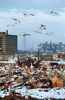 Sea Gulls at a Dump