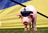 Piglet wearing a cap and sunglasses