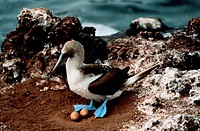 Blue Footed Booby with Eggs