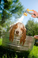 Dog being washed with sprayer in yard