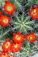 Flowering cactus, close-up