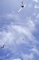 Arctic terns flying in cloudy sky in Norway, view from below