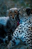 Cheetah (Acinonyx jubatus) licking cheetah cub, Masai Mara N.R, Kenya