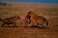 Spotted hyenas (Crocuta crocuta) with prey, Masai Mara N.R, Kenya