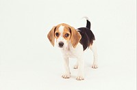 Beagle Puppy, (Portrait)