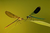 Two dragonflies on a leaf, calopteryx splendens