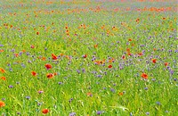 Bohemia, Botany, Color, Colour, Country, Countryside, Czech Republic, Daytime, Europe, Exterior, Flower, Flowers, Gras