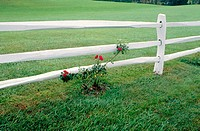 White fence wiht red rose bush and green grass