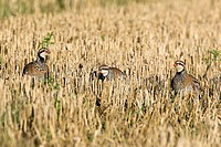 French Partridges, Alectoris rufa, group of three in wheat stubble, Autumn, Norfolk UK